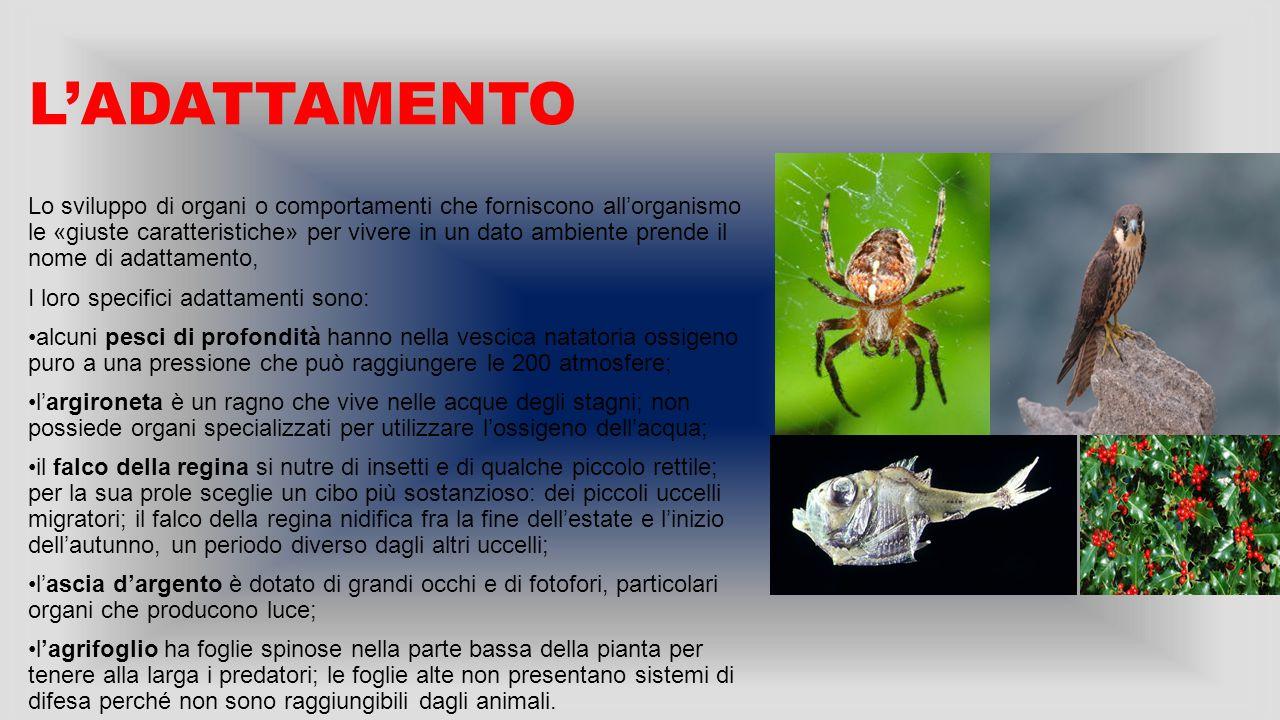 L'ADATTAMENTO Lo sviluppo di organi o comportamenti che forniscono all'organismo le «giuste caratteristiche» per vivere in un dato ambiente prende il nome di adattamento, I loro specifici adattamenti sono: alcuni pesci di profondità hanno nella vescica natatoria ossigeno puro a una pressione che può raggiungere le 200 atmosfere; l'argironeta è un ragno che vive nelle acque degli stagni; non possiede organi specializzati per utilizzare l'ossigeno dell'acqua; il falco della regina si nutre di insetti e di qualche piccolo rettile; per la sua prole sceglie un cibo più sostanzioso: dei piccoli uccelli migratori; il falco della regina nidifica fra la fine dell'estate e l'inizio dell'autunno, un periodo diverso dagli altri uccelli; l'ascia d'argento è dotato di grandi occhi e di fotofori, particolari organi che producono luce; l'agrifoglio ha foglie spinose nella parte bassa della pianta per tenere alla larga i predatori; le foglie alte non presentano sistemi di difesa perché non sono raggiungibili dagli animali.