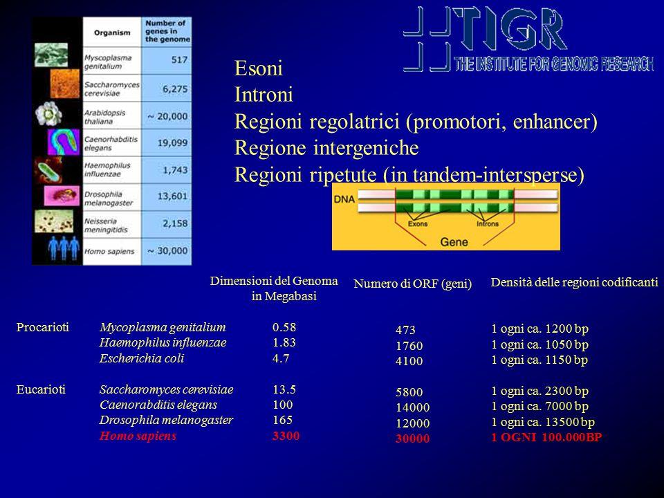 Dimensioni del Genoma in Megabasi ProcariotiMycoplasma genitalium0.58 Haemophilus influenzae1.83 Escherichia coli 4.7 EucariotiSaccharomyces cerevisiae13.5 Caenorabditis elegans100 Drosophila melanogaster165 Homo sapiens3300 Numero di ORF (geni) 473 1760 4100 5800 14000 12000 30000 Densità delle regioni codificanti 1 ogni ca.