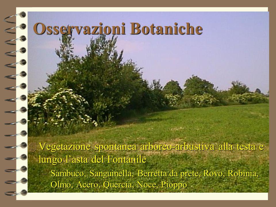 Osservazioni Botaniche 4 Vegetazione spontanea arboreo-arbustiva alla testa e lungo l'asta del Fontanile –Sambuco, Sanguinella, Berretta da prete, Rovo, Robinia, Olmo, Acero, Quercia, Noce, Pioppo