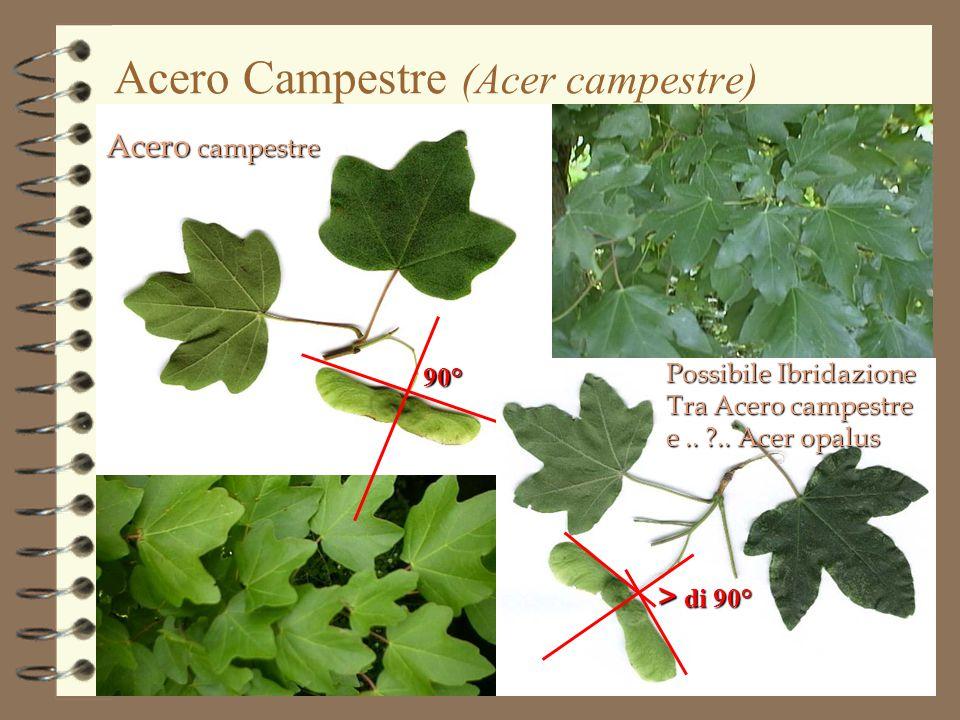 90° > di 90° Acero campestre Acero Campestre (Acer campestre) Possibile Ibridazione Tra Acero campestre e.. ?.. Acer opalus
