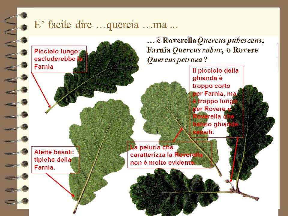 E' facile dire …quercia …ma... … è Roverella Quercus pubescens, Farnia Quercus robur, o Rovere Quercus petraea ? Picciolo lungo: escluderebbe la Farni