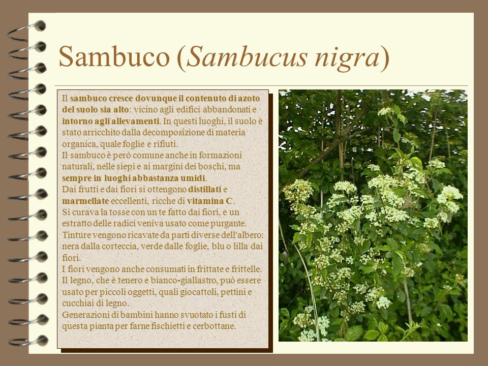 Sambuco (Sambucus nigra) Il sambuco cresce dovunque il contenuto di azoto del suolo sia alto: vicino agli edifici abbandonati e intorno agli allevamenti.