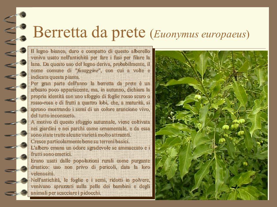 Berretta da prete ( Euonymus europaeus) Il legno bianco, duro e compatto di questo alberello veniva usato nell'antichità per fare i fusi per filare la