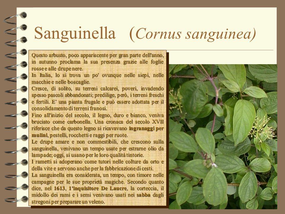 Sanguinella ( Cornus sanguinea) Questo arbusto, poco appariscente per gran parte dell anno, in autunno proclama la sua presenza grazie alle foglie rosse e alle drupe nere.