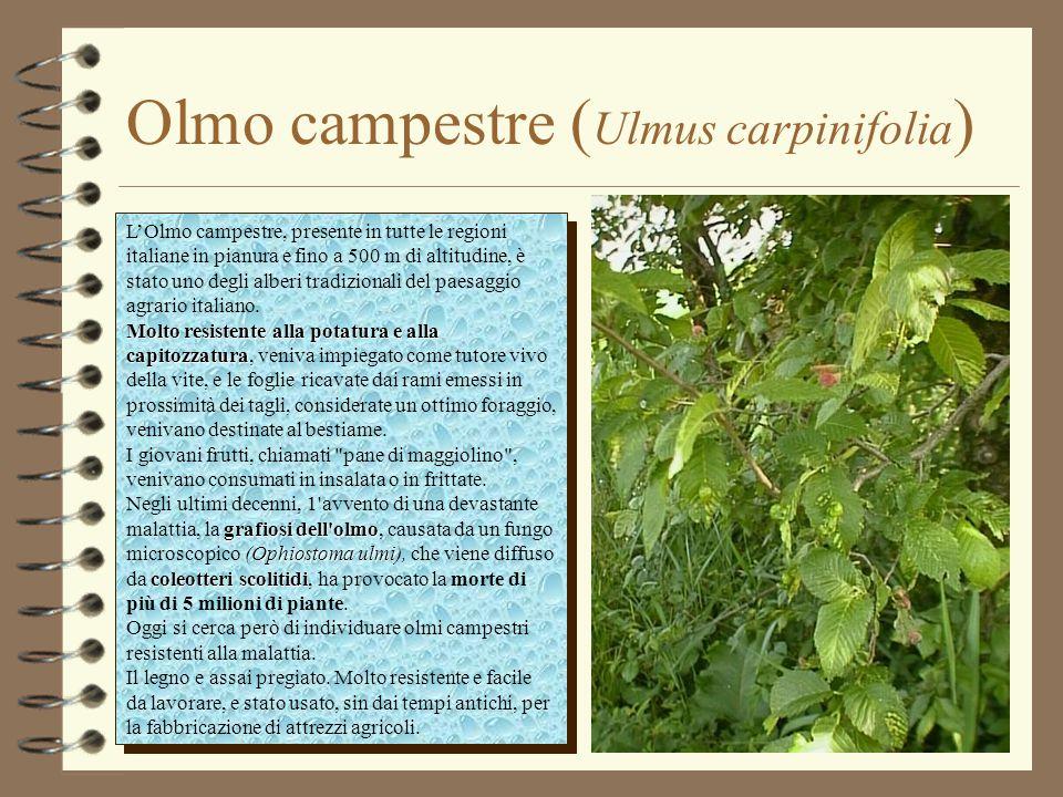 Olmo campestre ( Ulmus carpinifolia ) L'Olmo campestre, presente in tutte le regioni italiane in pianura e fino a 500 m di altitudine, è stato uno deg