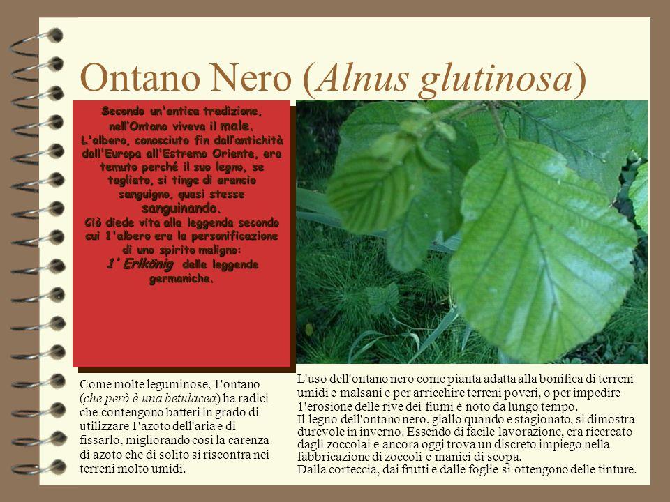 Ontano Nero (Alnus glutinosa) Secondo un'antica tradizione, nell'Ontano viveva il male. L'albero, conosciuto fin dall'antichità dall'Europa all'Estrem