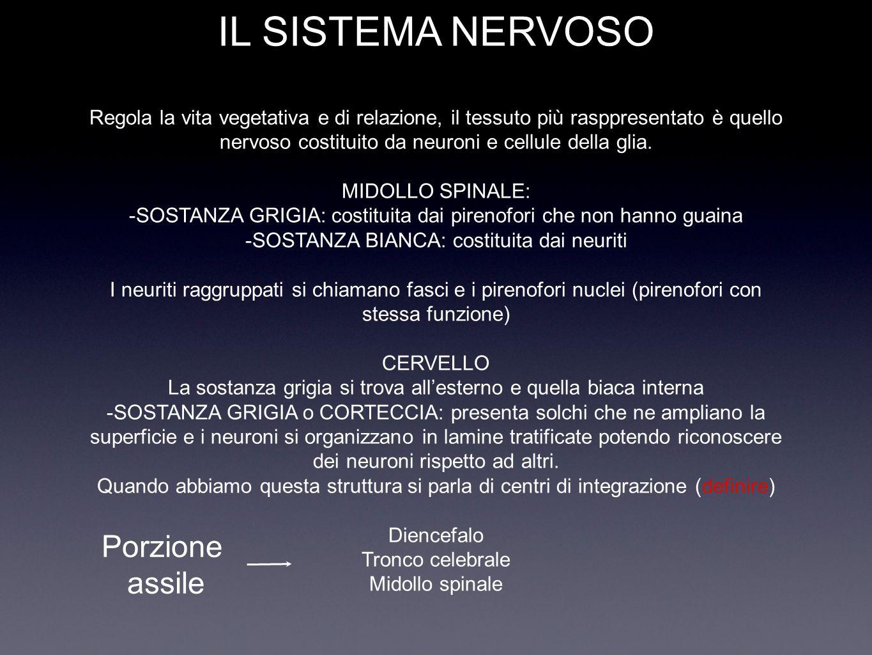 IL SISTEMA NERVOSO Regola la vita vegetativa e di relazione, il tessuto più rasppresentato è quello nervoso costituito da neuroni e cellule della glia