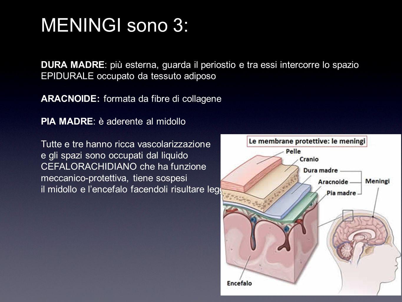 MENINGI sono 3: DURA MADRE: più esterna, guarda il periostio e tra essi intercorre lo spazio EPIDURALE occupato da tessuto adiposo ARACNOIDE: formata