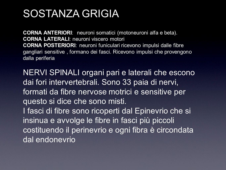 SOSTANZA GRIGIA CORNA ANTERIORI: neuroni somatici (motoneuroni alfa e beta). CORNA LATERALI: neuroni viscero motori CORNA POSTERIORI: neuroni funicula