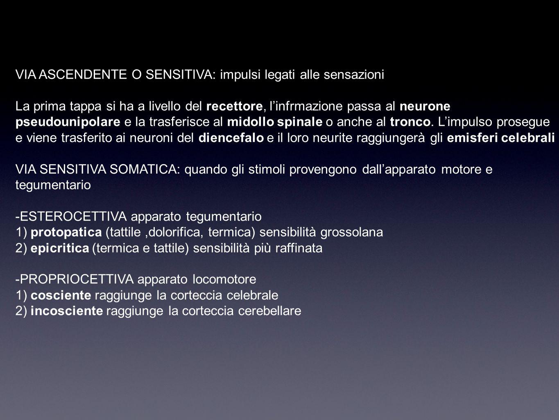 TRONCO occupa la parte più caudale dell'encefalo e poggia sul foro occipitale, fa da passaggio tra midollo spinale ed encefalo BASE o parte ventrale: sono riconoscibili tre parti grazie ai solchi - bulbo: atraversato da vie ascendenti e discendenti - ponte: syruttura di connessione tra emisferi e cervelletto - mesencefalo: contiene tratti di fibre ascendenti e discendenti Alla base del PONTE ci sono le piramidi bulbari visibili grazie al solco ventrale mediale, e ai lati ci sono le olive bulbari che contengono nuclei di sostanza grigia.