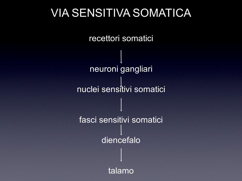 VIA SENSITIVA SOMATICA recettori somatici neuroni gangliari nuclei sensitivi somatici fasci sensitivi somatici diencefalo talamo
