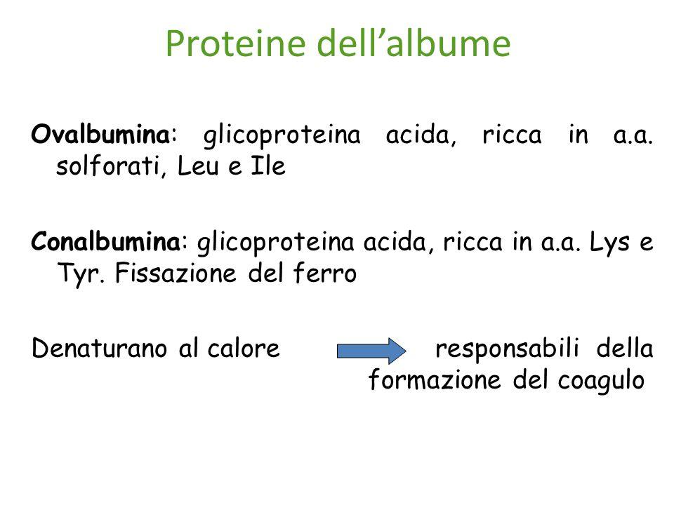 Proteine dell'albume Ovalbumina: glicoproteina acida, ricca in a.a. solforati, Leu e Ile Conalbumina: glicoproteina acida, ricca in a.a. Lys e Tyr. Fi