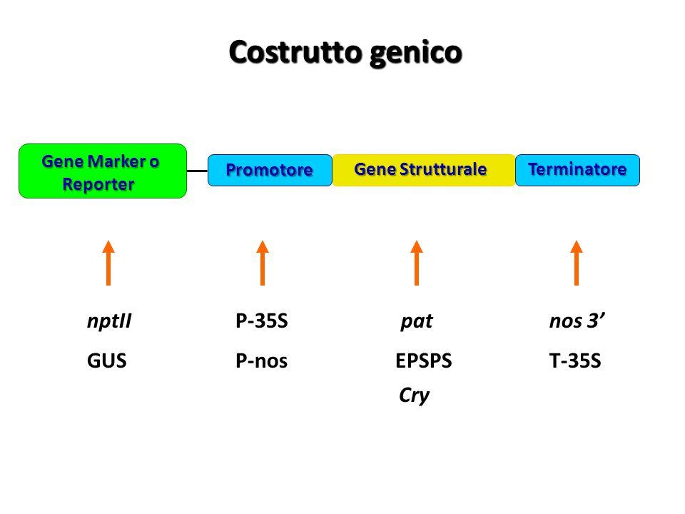 Costrutto genico Costrutto genico nptII GUS P-35S P-nos pat EPSPS nos 3' T-35S Cry Gene Strutturale Gene Marker o Reporter Gene Marker o Reporter Term