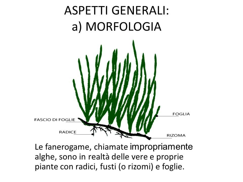 ASPETTI GENERALI: a) MORFOLOGIA Le fanerogame, chiamate impropriamente alghe, sono in realtà delle vere e proprie piante con radici, fusti (o rizomi)