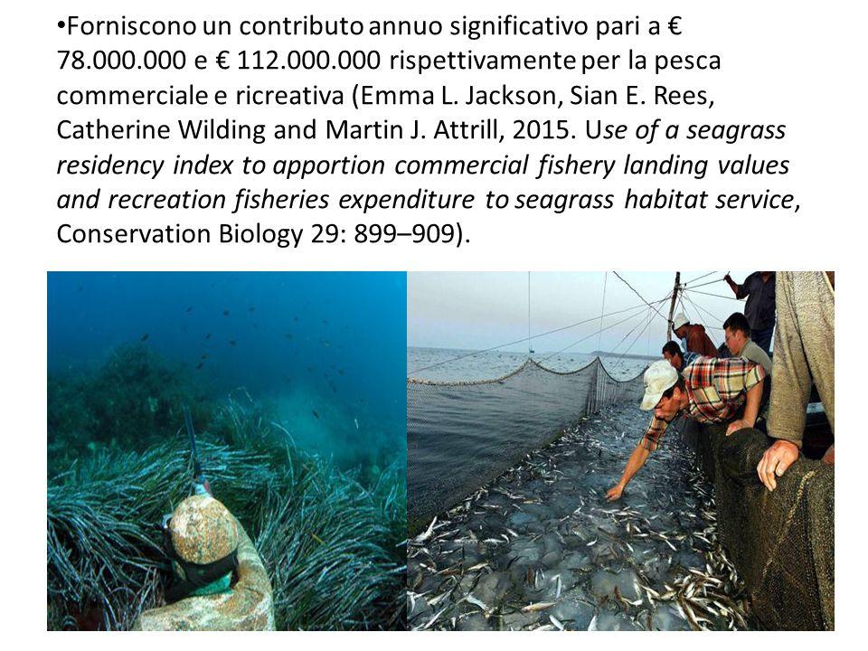 Forniscono un contributo annuo significativo pari a € 78.000.000 e € 112.000.000 rispettivamente per la pesca commerciale e ricreativa (Emma L. Jackso