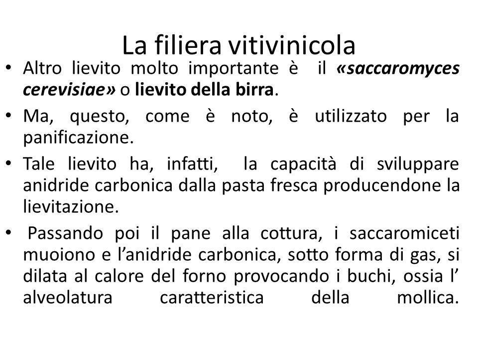 La filiera vitivinicola Altro lievito molto importante è il «saccaromyces cerevisiae» o lievito della birra. Ma, questo, come è noto, è utilizzato per