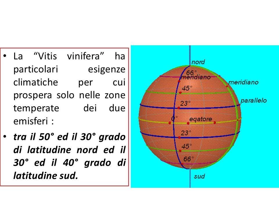 """Prodotti e sottoprodotti della filiera vitivinicola La """"Vitis vinifera"""" ha particolari esigenze climatiche per cui prospera solo nelle zone temperate"""