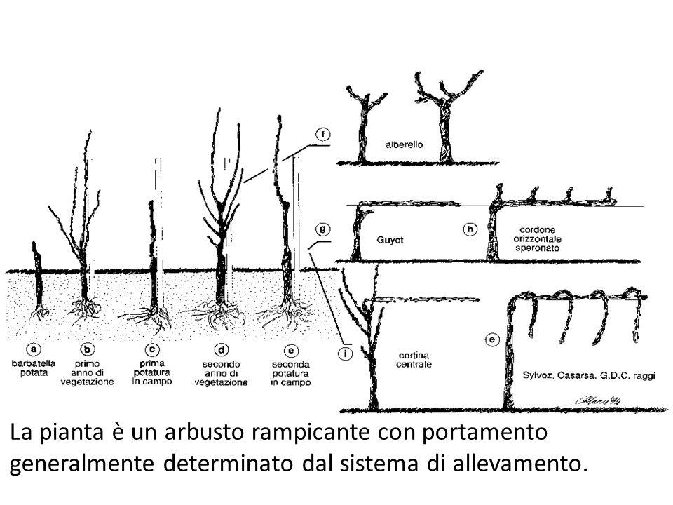 Prodotti e sottoprodotti della filiera vitivinicola La pianta è un arbusto rampicante con portamento generalmente determinato dal sistema di allevamen