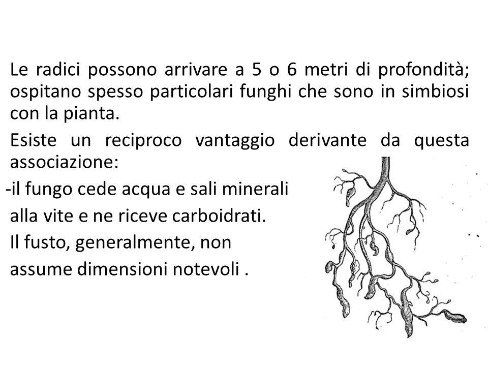 Prodotti e sottoprodotti della filiera vitivinicola Le radici possono arrivare a 5 o 6 metri di profondità; ospitano spesso particolari funghi che son