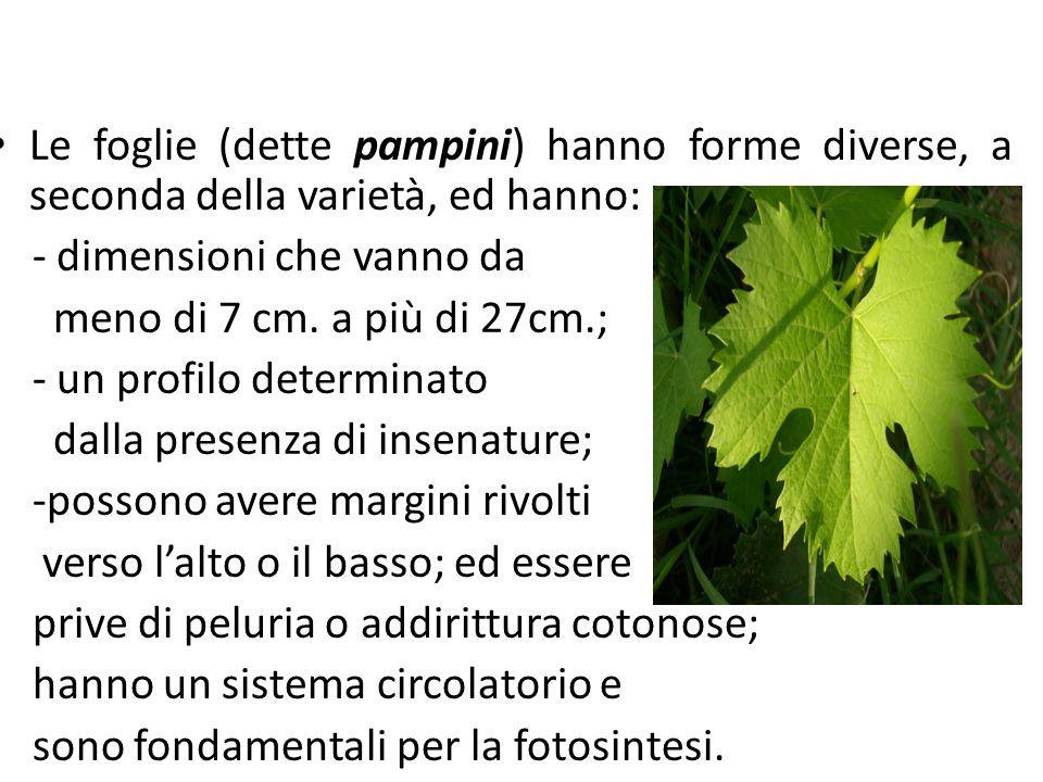 Prodotti e sottoprodotti della filiera vitivinicola Le foglie (dette pampini) hanno forme diverse, a seconda della varietà, ed hanno: - dimensioni che