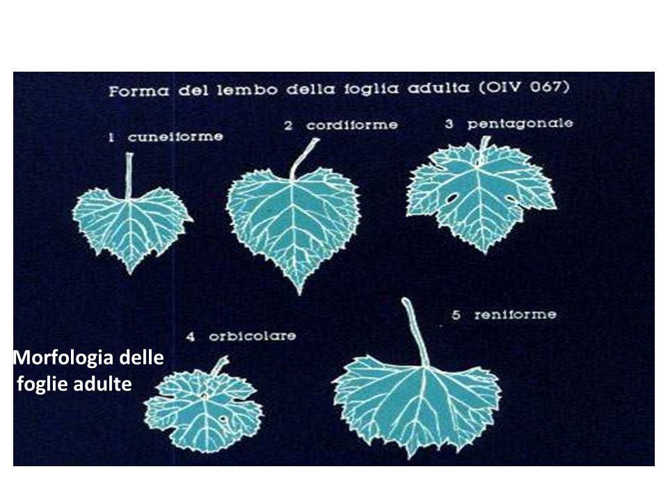 Morfologia delle foglie adulte Prodotti e sottoprodotti della filiera vitivinicola