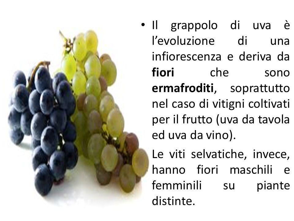 Il grappolo di uva è l'evoluzione di una infiorescenza e deriva da fiori che sono ermafroditi, soprattutto nel caso di vitigni coltivati per il frutto