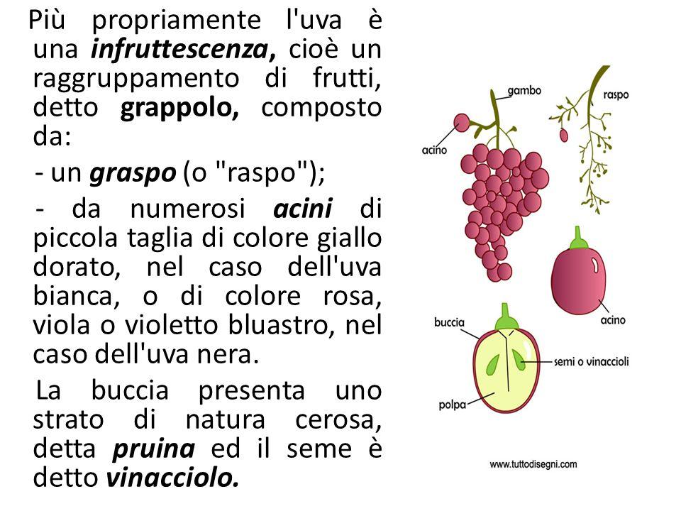 Prodotti e sottoprodotti della filiera vitivinicola Più propriamente l'uva è una infruttescenza, cioè un raggruppamento di frutti, detto grappolo, com