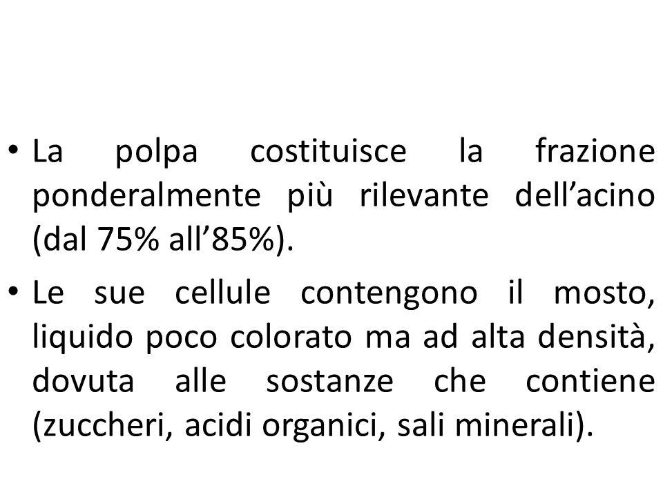 Prodotti e sottoprodotti della filiera vitivinicola La polpa costituisce la frazione ponderalmente più rilevante dell'acino (dal 75% all'85%). Le sue