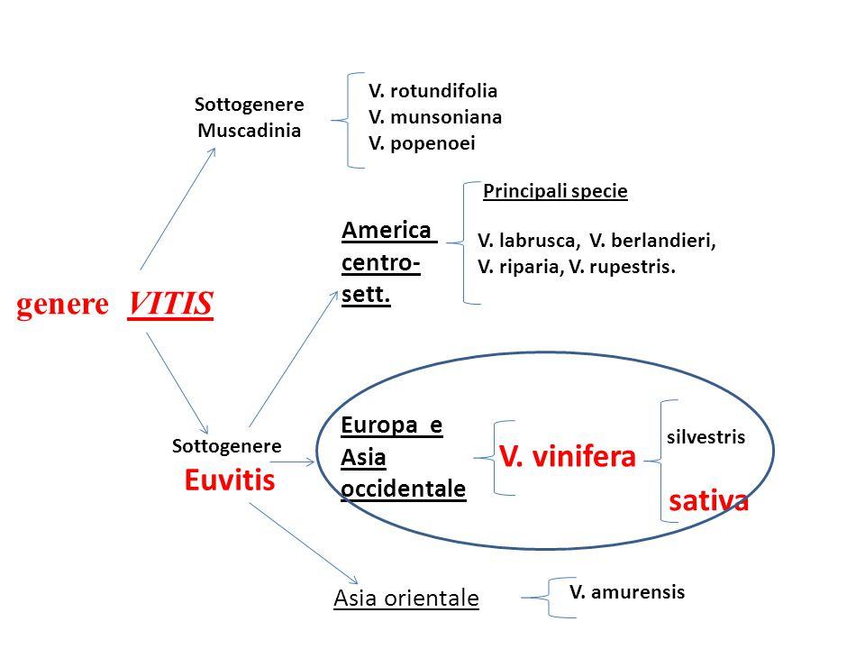 Sottogenere Muscadinia genere VITIS Sottogenere Euvitis V. rotundifolia V. munsoniana V. popenoei V. labrusca, V. berlandieri, V. riparia, V. rupestri