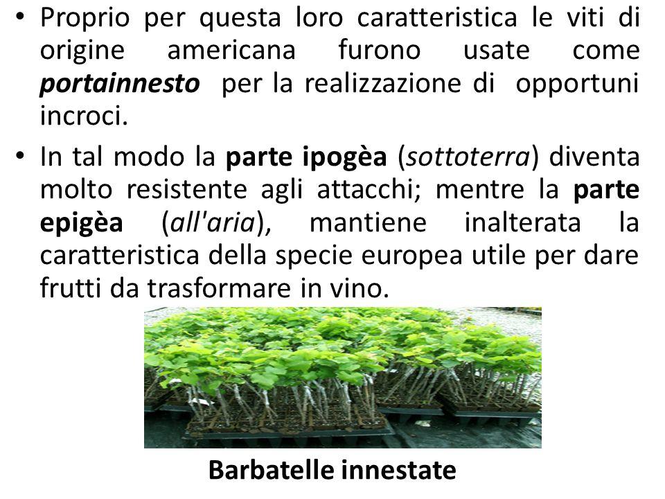 Prodotti e sottoprodotti della filiera vitivinicola BARBATELLE PRONTE PER L'IMPIANTO