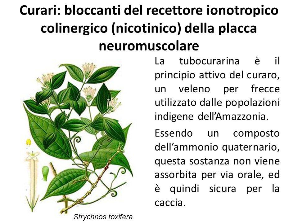 Curari: bloccanti del recettore ionotropico colinergico (nicotinico) della placca neuromuscolare La tubocurarina è il principio attivo del curaro, un