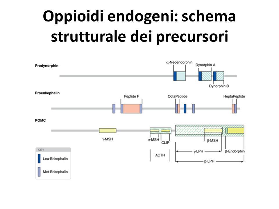 Oppioidi endogeni: schema strutturale dei precursori