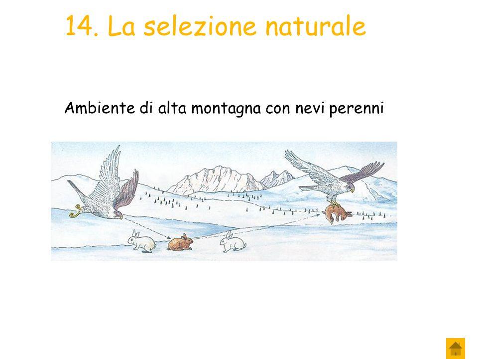 13. La selezione naturale Se invece di prendere in esame un ambiente ai margini di un bosco si fosse preso in considerazione un ambiente innevato di a