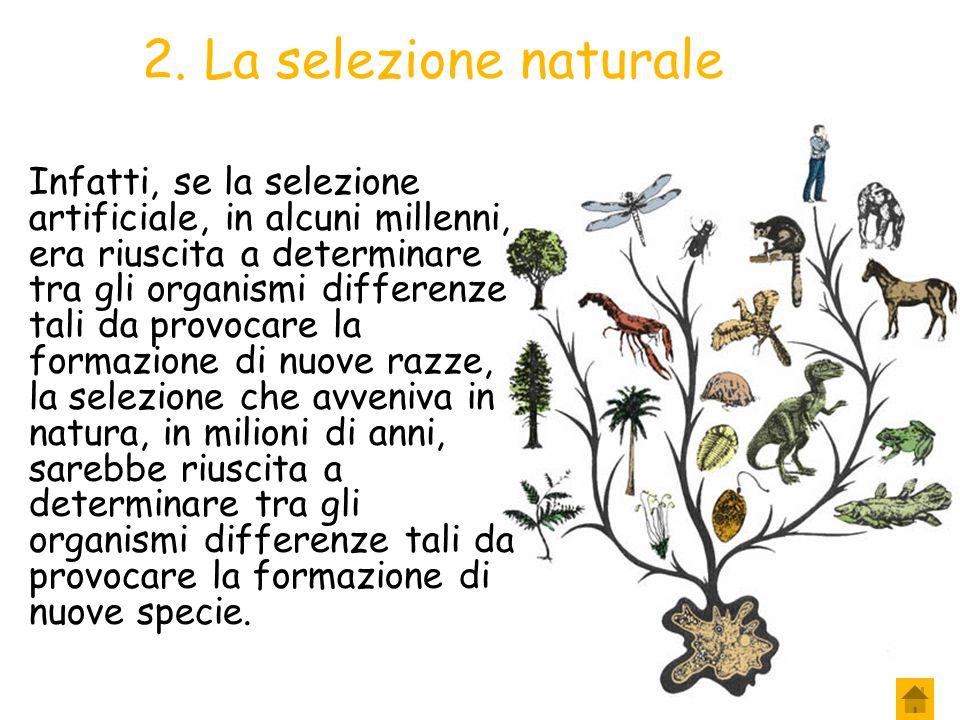 2. La selezione naturale Se ciò fosse stato vero, si sarebbe potuto pensare che fosse proprio la natura a determinare la formazione di nuove specie: