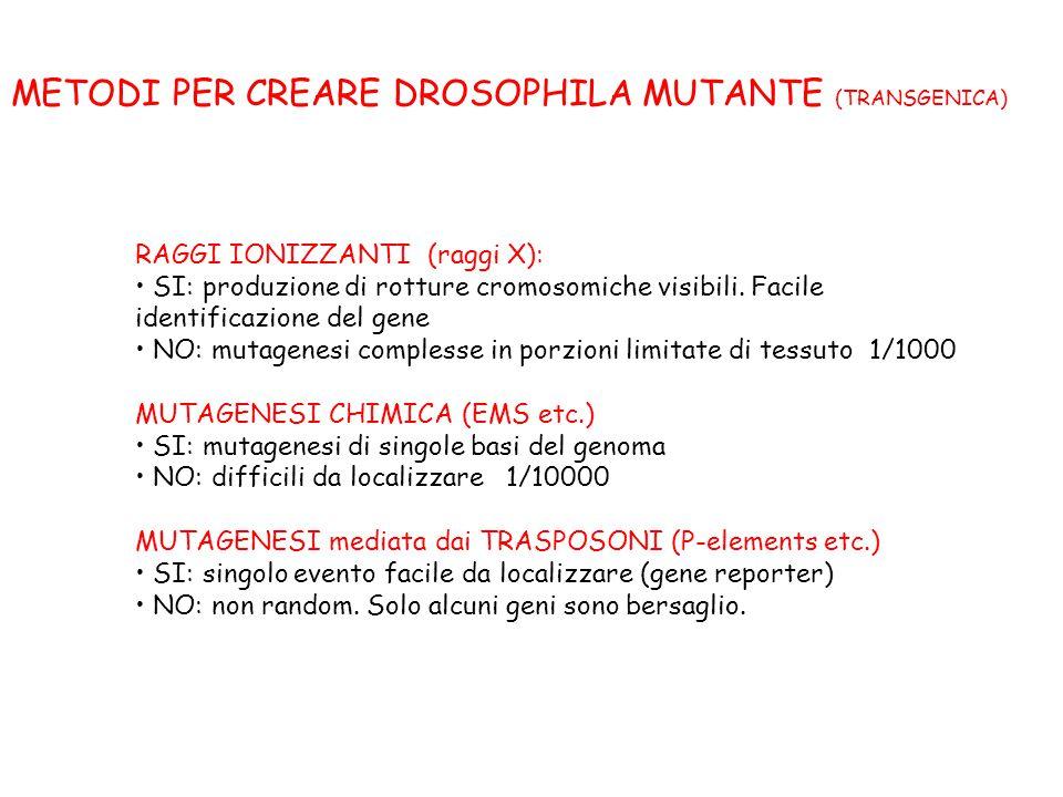 RAGGI IONIZZANTI (raggi X): SI: produzione di rotture cromosomiche visibili. Facile identificazione del gene NO: mutagenesi complesse in porzioni limi