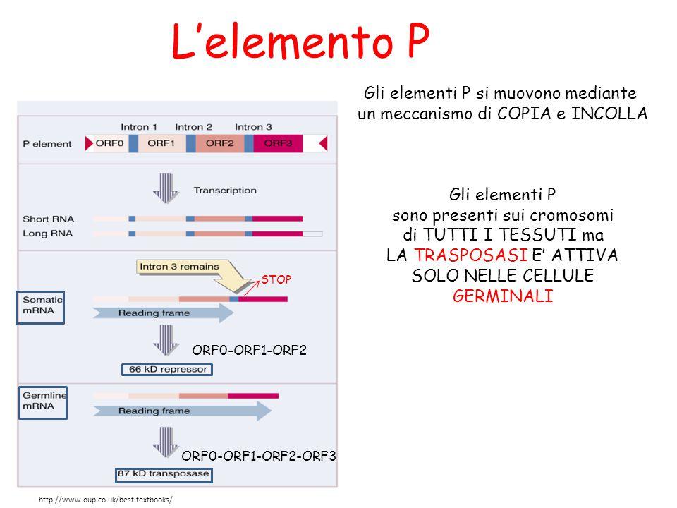 L'elemento P In presenza della TRASPOSASI, qualsiasi frammento di DNA posto tra le regioni terminali invertite puo' essere MOBILIZZATO L'elemento P si integra preferibilmente nelle estremità 5'-3' del gene ospite o tende ad inserirsi nelle vicinanze di altri elementi P ed ha una leggera preferenza per sequenze target GGCCAGAC CEPPO di DROSOPHILA con elemento P (circa 30-50 copie): ceppo P CEPPO di DROSOPHILA senza elemento P: ceppo M L'elemento P è CAUSA della DISGENESI DEGLI IBRIDI Tutto ciò che è all'interno delle seq ripetute viene mobilizzato
