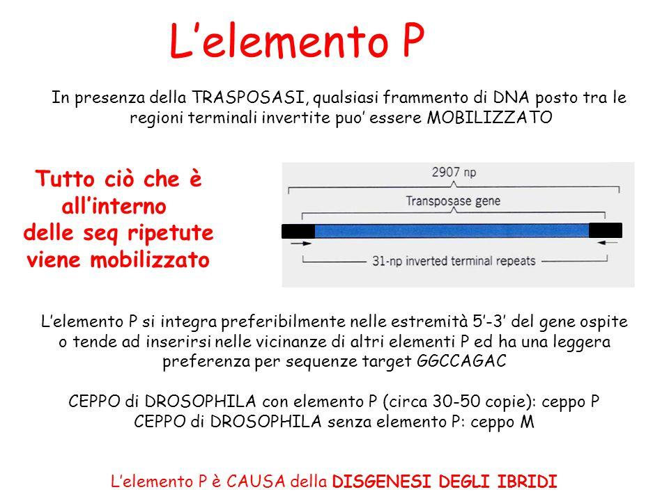 L'elemento P In presenza della TRASPOSASI, qualsiasi frammento di DNA posto tra le regioni terminali invertite puo' essere MOBILIZZATO L'elemento P si