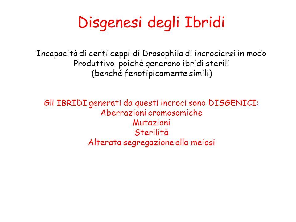 Disgenesi degli Ibridi Incapacità di certi ceppi di Drosophila di incrociarsi in modo Produttivo poiché generano ibridi sterili (benché fenotipicament