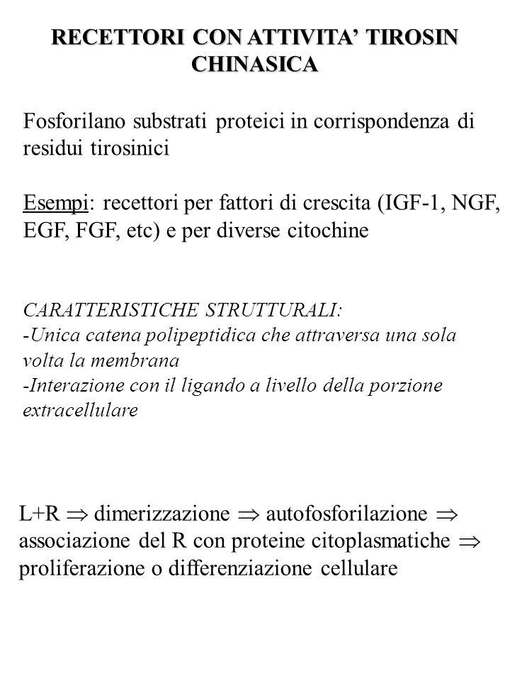 RECETTORI CON ATTIVITA' TIROSIN CHINASICA Fosforilano substrati proteici in corrispondenza di residui tirosinici Esempi: recettori per fattori di cres