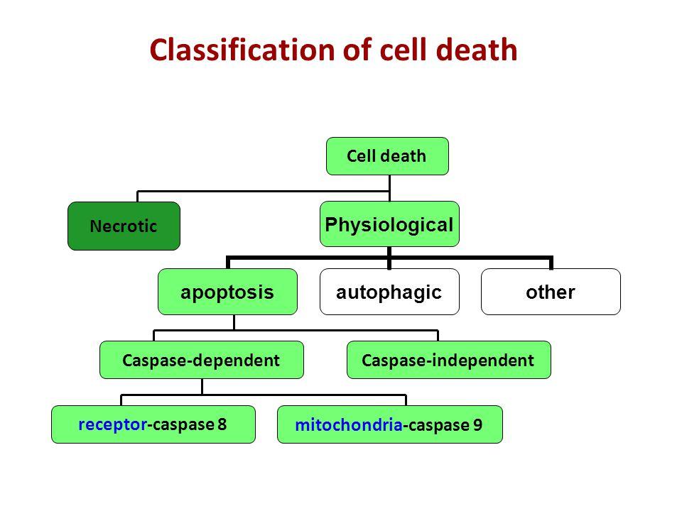 CARD = Caspase Recruitment Domain Caspasi-9 - 4 - 2 - 1 APAF = Apoptopic Proteases Activating Factors DED = Death Effector Domain Caspasi-10 - 8 DEDD TRADD FADD RIP Le caspasi vengono divise in iniziatori e effettori.