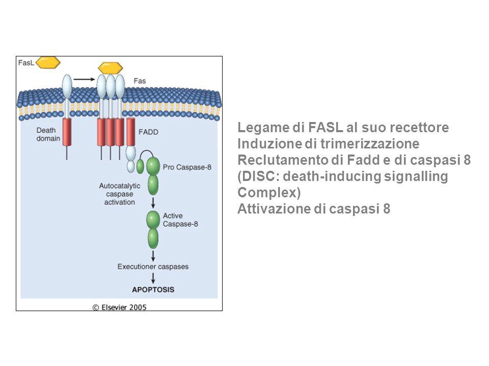 Legame di FASL al suo recettore Induzione di trimerizzazione Reclutamento di Fadd e di caspasi 8 (DISC: death-inducing signalling Complex) Attivazione