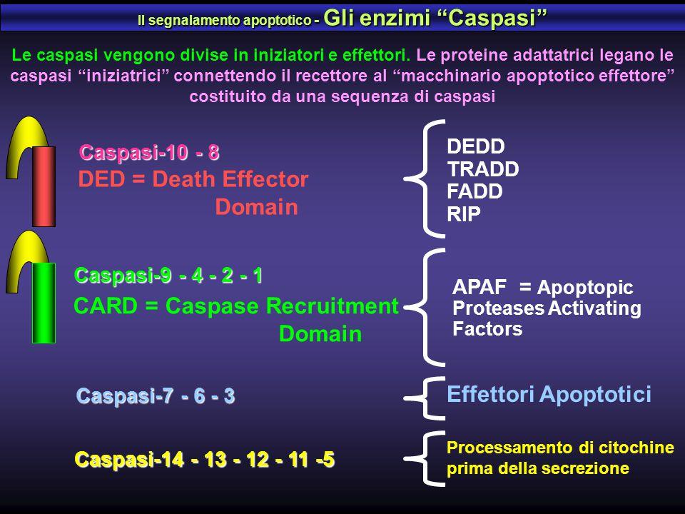 CARD = Caspase Recruitment Domain Caspasi-9 - 4 - 2 - 1 APAF = Apoptopic Proteases Activating Factors DED = Death Effector Domain Caspasi-10 - 8 DEDD
