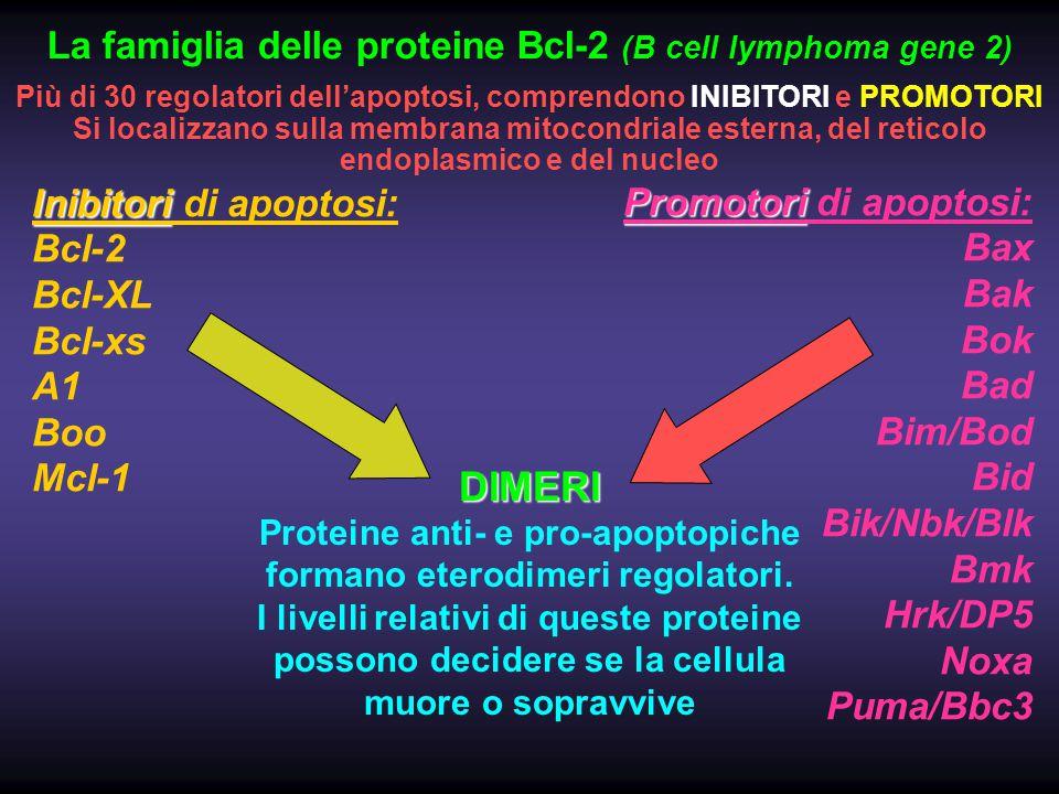 Inibitori Inibitori di apoptosi: Bcl-2 Bcl-XL Bcl-xs A1 Boo Mcl-1 Promotori Promotori di apoptosi: Bax Bak Bok Bad Bim/Bod Bid Bik/Nbk/Blk Bmk Hrk/DP5