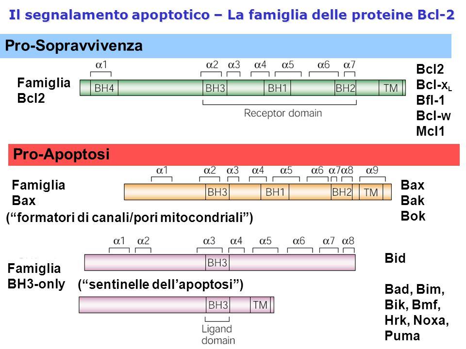"""Il segnalamento apoptotico – La famiglia delle proteine Bcl-2 Pro-Sopravvivenza Famiglia Bcl2 Bcl- X L Bfl-1 Bcl- W Mcl1 (""""formatori di canali/pori mi"""