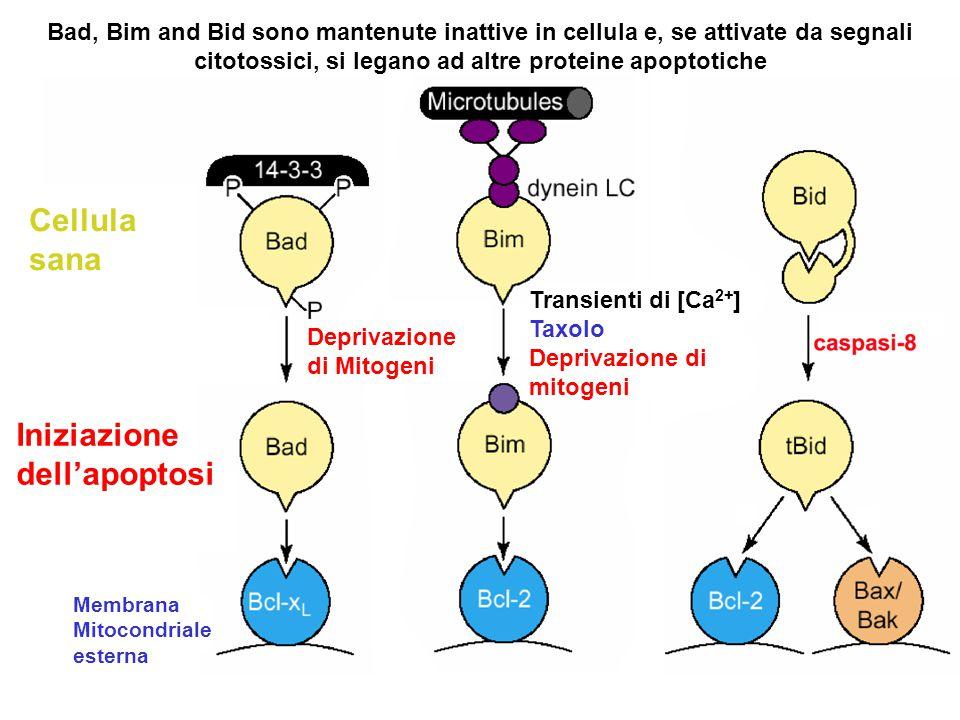 Bad, Bim and Bid sono mantenute inattive in cellula e, se attivate da segnali citotossici, si legano ad altre proteine apoptotiche Transienti di [Ca 2