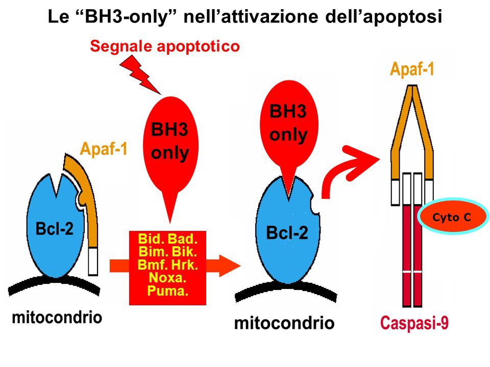 """BH3 only Le """"BH3-only"""" nell'attivazione dell'apoptosi Cyto C BH3 only Segnale apoptotico Bid. Bad. Bim. Bik. Bmf. Hrk. Noxa. Puma."""
