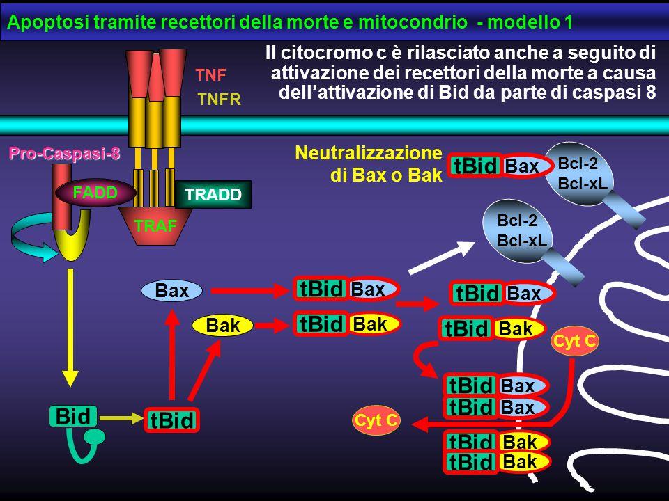 Pro-Caspasi-8 FADD TRAF TRADD TNF TNFR Il citocromo c è rilasciato anche a seguito di attivazione dei recettori della morte a causa dell'attivazione d