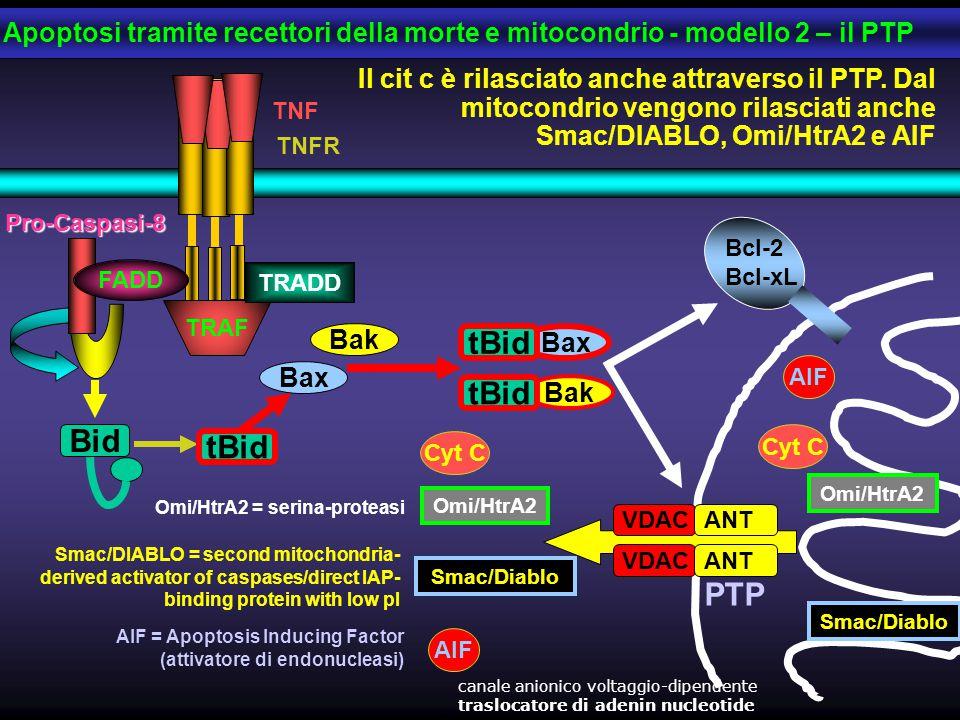 Cyt C Pro-Caspasi-8 FADD TRAF TRADD TNF TNFR Il cit c è rilasciato anche attraverso il PTP. Dal mitocondrio vengono rilasciati anche Smac/DIABLO, Omi/