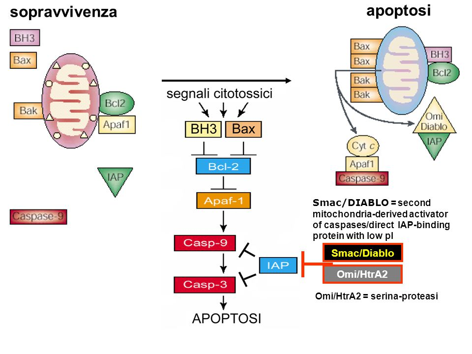 apoptosi sopravvivenza Smac/Diablo Omi/HtrA2 Smac/DIABLO = second mitochondria-derived activator of caspases/direct IAP-binding protein with low pI Om