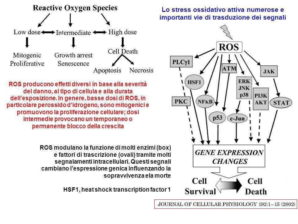 ROS modulano la funzione di molti enzimi (box) e fattori di trascrizione (ovali) tramite molti segnalamenti intracellulari. Questi segnali cambiano l'